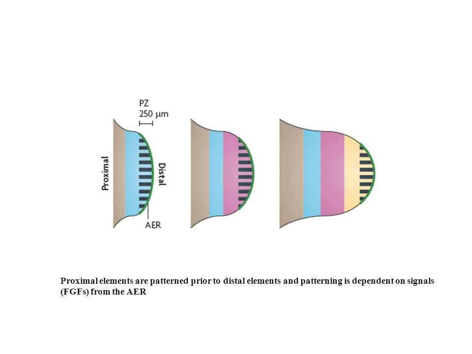 Proximal elements are patterned prior to distal elements and patterning is dependent on signals (FGFs) from the AER