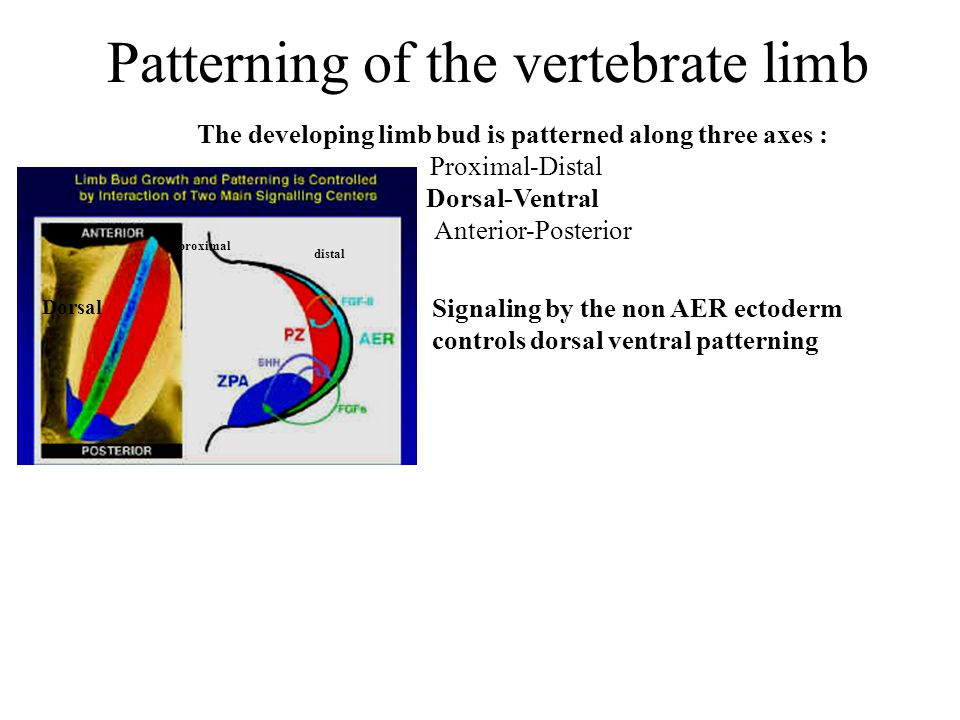 Patterning of the vertebrate limb Signaling by the non AER ectoderm controls dorsal ventral patterning The developing limb bud is patterned along three axes : Proximal-Distal Dorsal-Ventral Anterior-Posterior Dorsal proximal distal