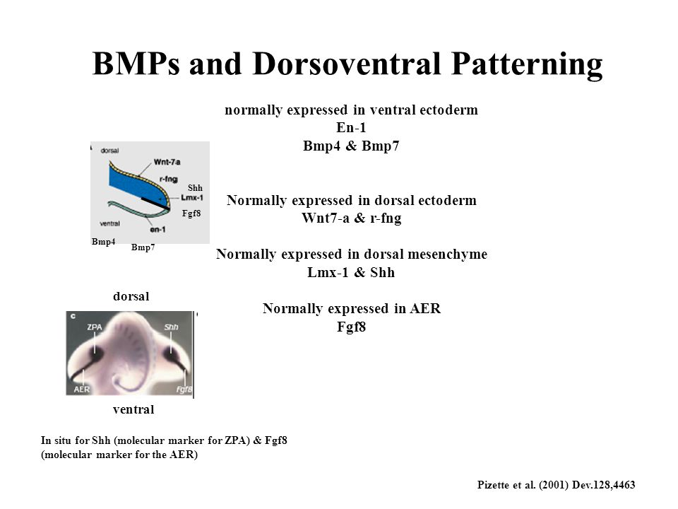 BMPs and Dorsoventral Patterning normally expressed in ventral ectoderm En-1 Bmp4 & Bmp7 Normally expressed in dorsal ectoderm Wnt7-a & r-fng Normally expressed in dorsal mesenchyme Lmx-1 & Shh Normally expressed in AER Fgf8 Bmp4 Bmp7 Shh Fgf8 dorsal ventral In situ for Shh (molecular marker for ZPA) & Fgf8 (molecular marker for the AER) Pizette et al.