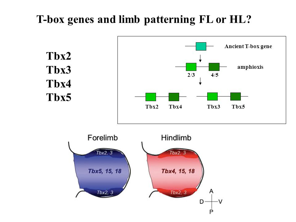 T-box genes and limb patterning FL or HL.