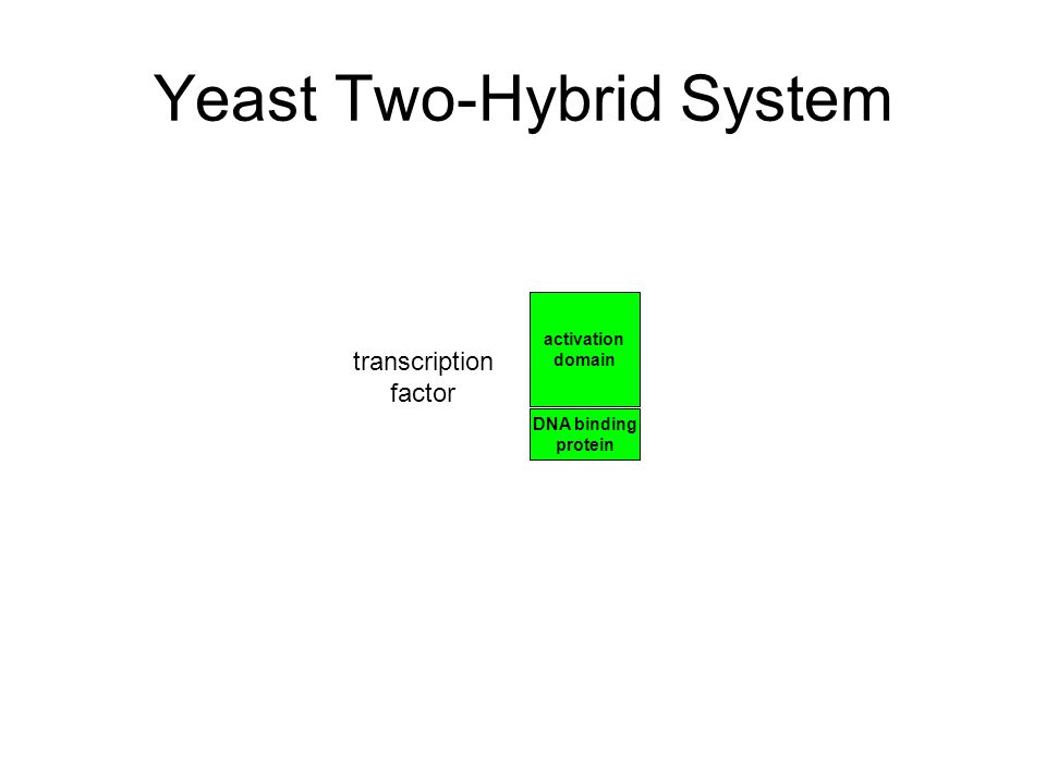 Yeast Two-Hybrid System DNA binding protein activation domain transcription factor