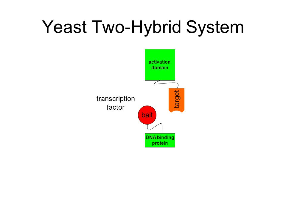 Yeast Two-Hybrid System transcription factor activation domain DNA binding protein bait target