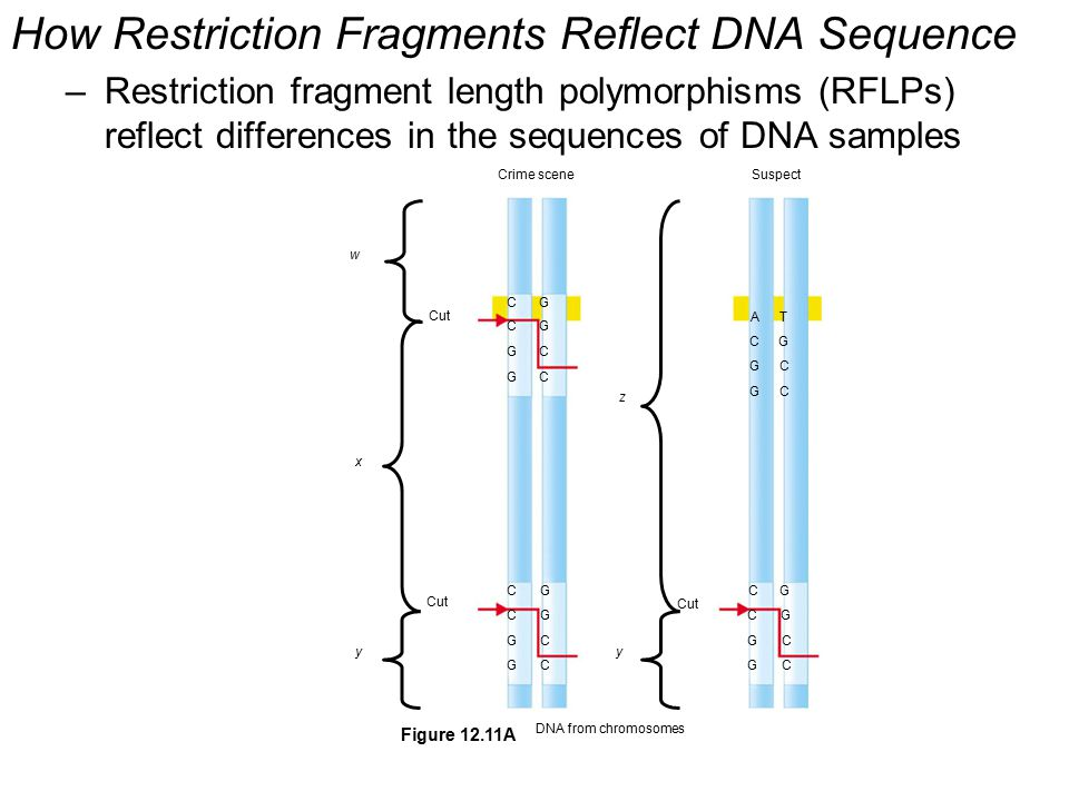 How Restriction Fragments Reflect DNA Sequence –Restriction fragment length polymorphisms (RFLPs) reflect differences in the sequences of DNA samples Crime sceneSuspect w x yy z Cut DNA from chromosomes C C G G G G C C A C G G T G C C C C G G G G C C C C G G G G C C Figure 12.11A