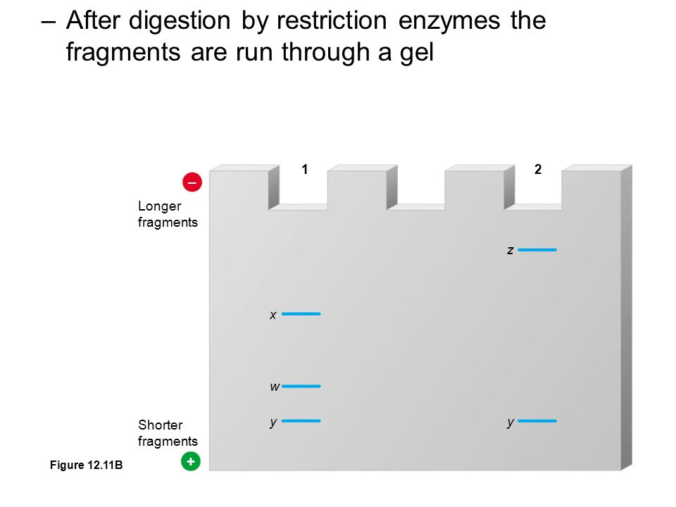 –After digestion by restriction enzymes the fragments are run through a gel – + Longer fragments Shorter fragments x w y z y 12 Figure 12.11B