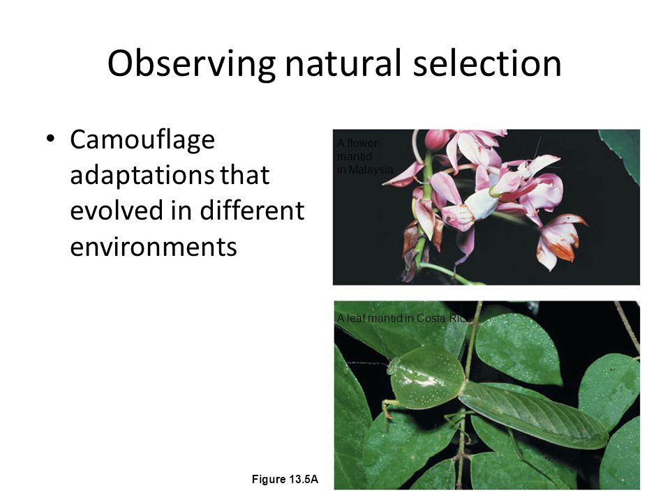 Observing natural selection Camouflage adaptations that evolved in different environments A flower mantid in Malaysia A leaf mantid in Costa Rica Figure 13.5A