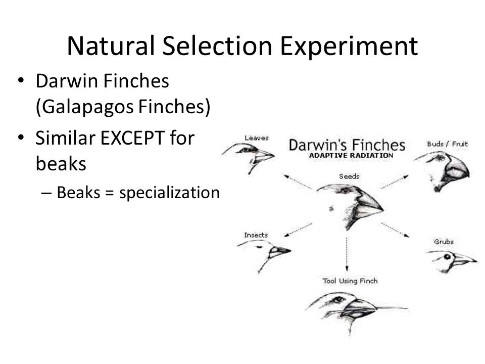 Natural Selection Experiment Darwin Finches (Galapagos Finches) Similar EXCEPT for beaks – Beaks = specialization