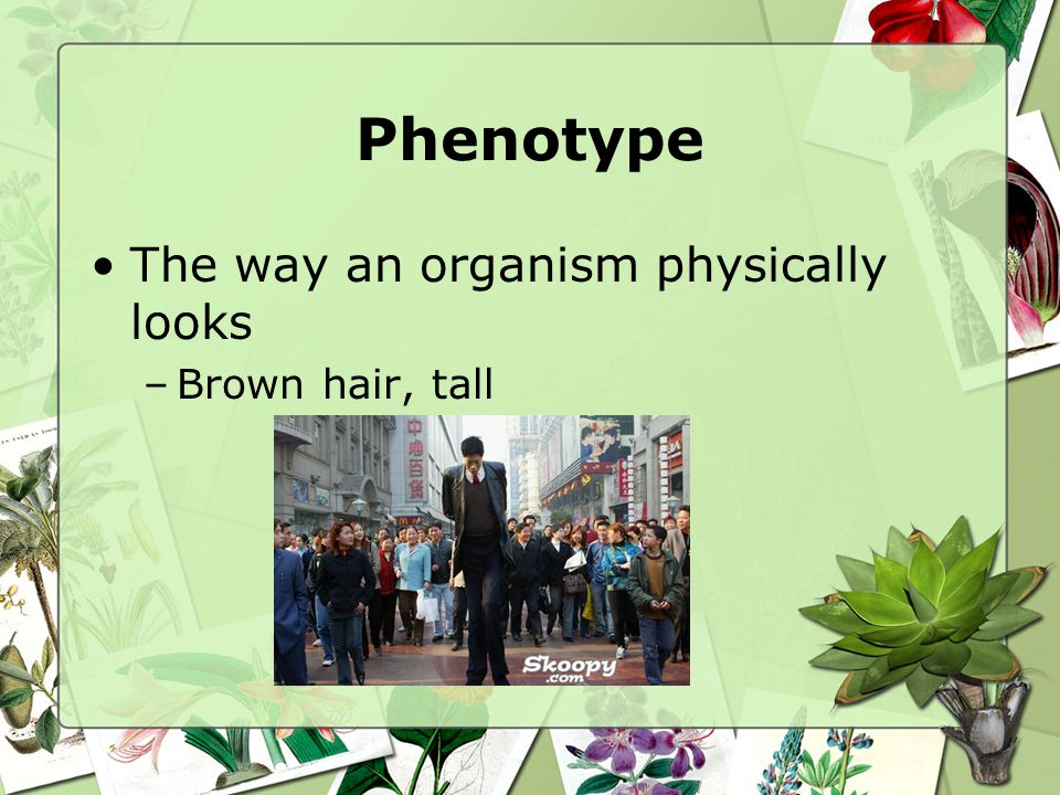 Phenotype The way an organism physically looks –Brown hair, tall