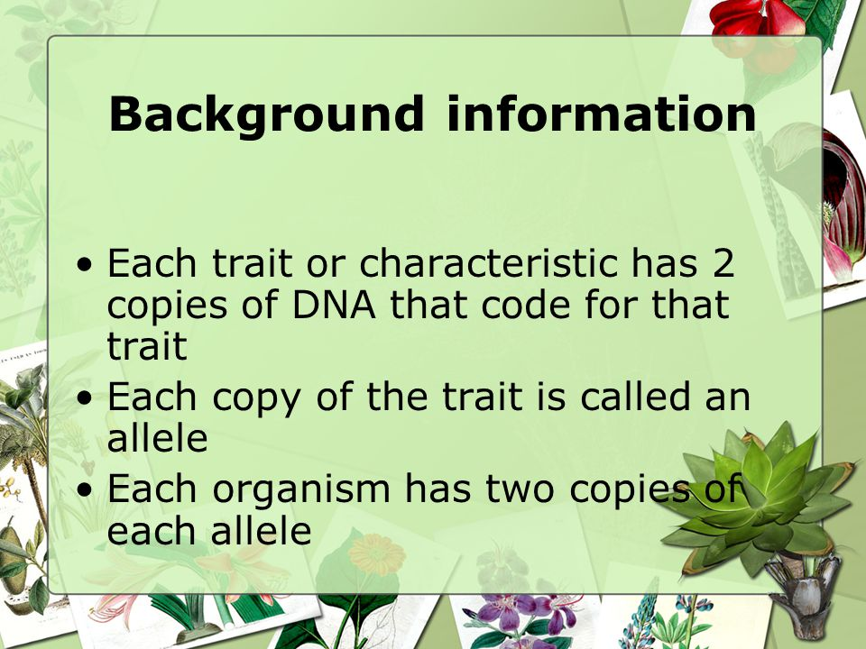Background information Each trait or characteristic has 2 copies of DNA that code for that trait Each copy of the trait is called an allele Each organism has two copies of each allele