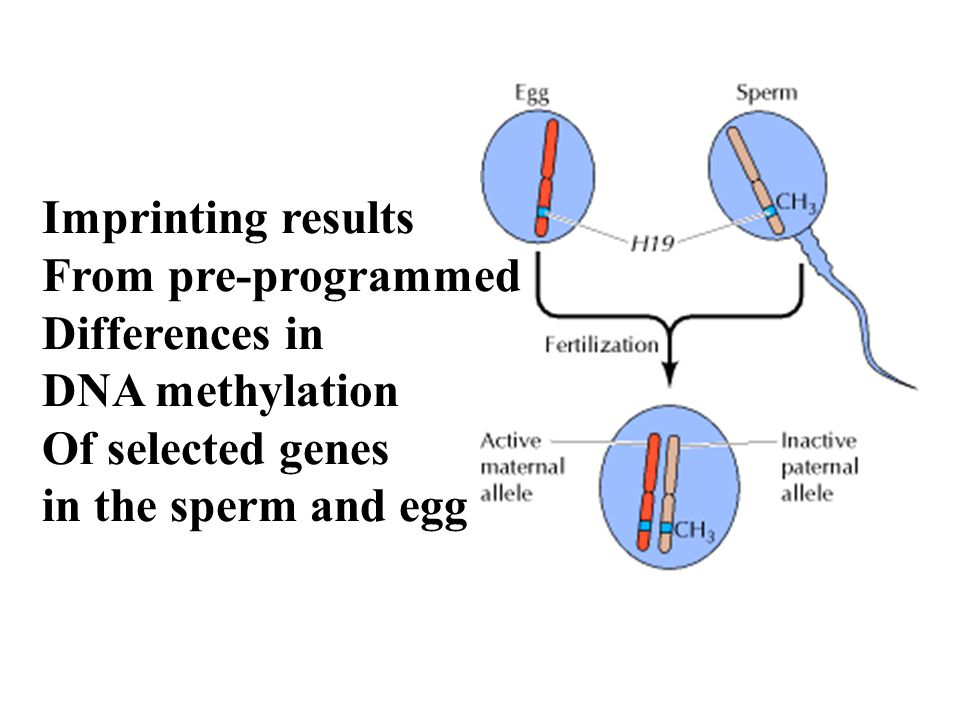 Imprinting results From pre-programmed Differences in DNA methylation Of selected genes in the sperm and egg