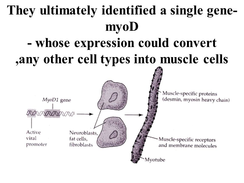 They ultimately identified a single gene- myoD - whose expression could convert,any other cell types into muscle cells