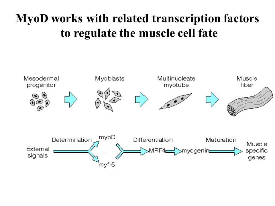MyoD works with related transcription factors to regulate the muscle cell fate