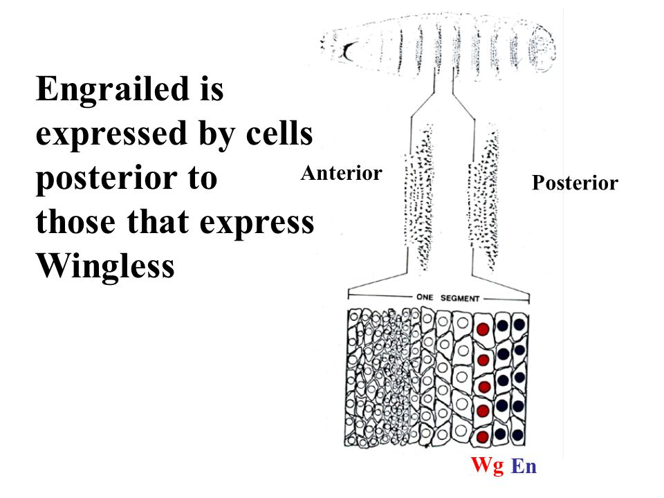 Anterior Posterior Wg En Engrailed is expressed by cells posterior to those that express Wingless