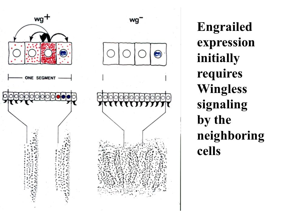 Engrailed expression initially requires Wingless signaling by the neighboring cells