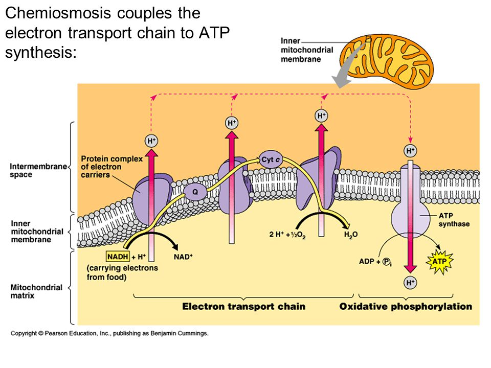 Details of cellular respiration glycolysis krebs cycle electron 16 chemiosmosis couples the electron transport chain to atp synthesis ccuart Image collections
