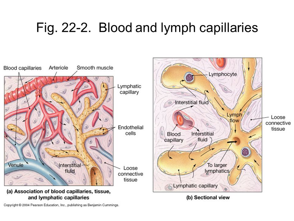 Fig Blood and lymph capillaries