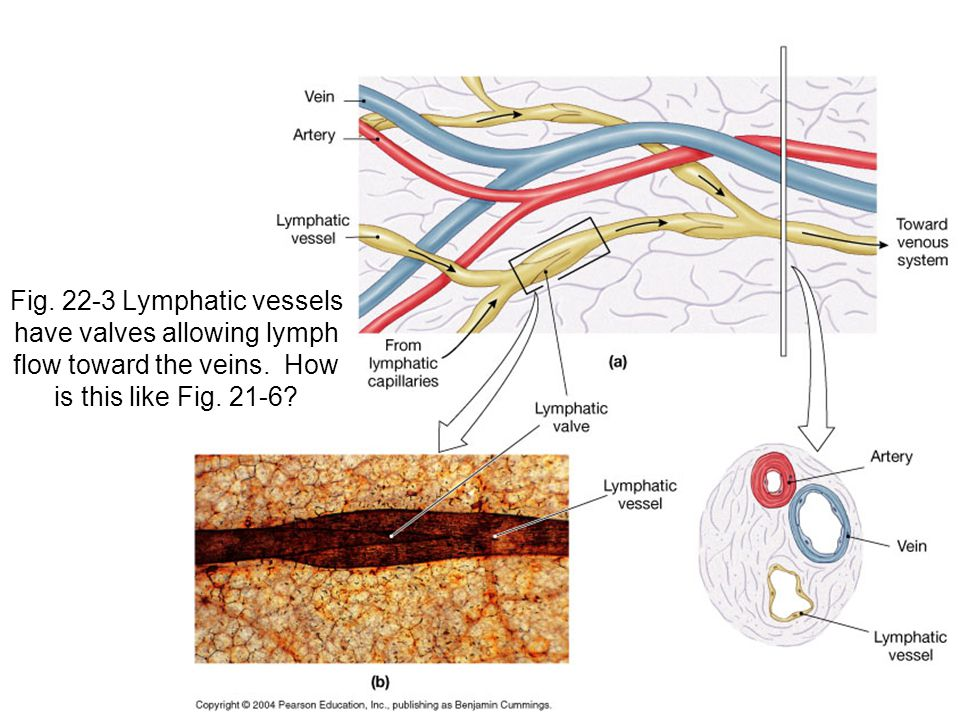 Fig Lymphatic vessels have valves allowing lymph flow toward the veins.
