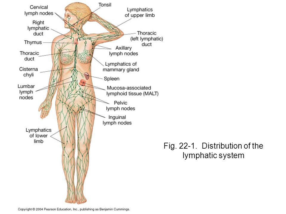 Fig Distribution of the lymphatic system