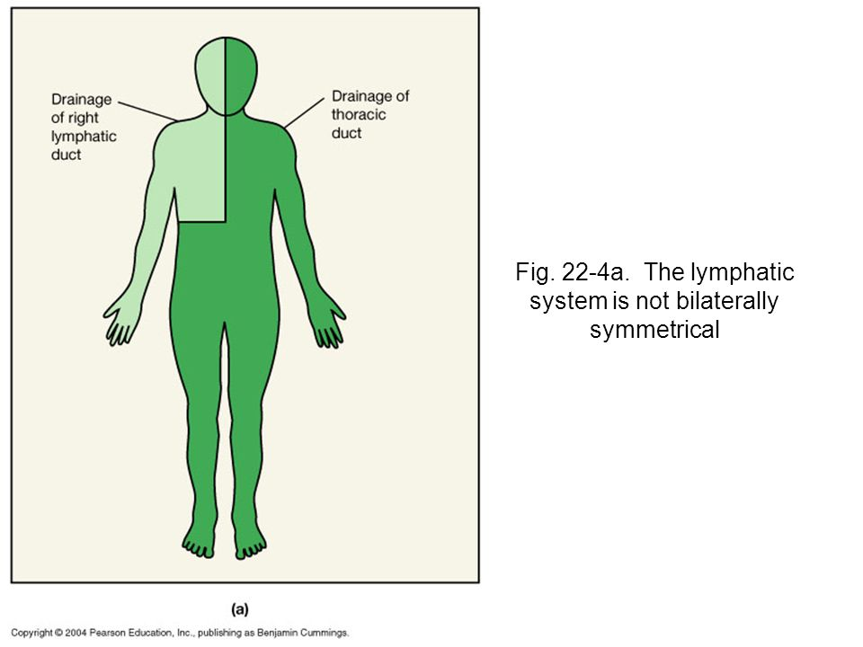 Fig. 22-4a. The lymphatic system is not bilaterally symmetrical