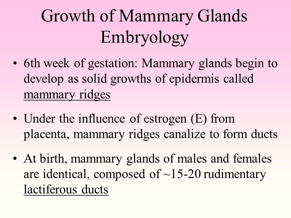 Growth of Mammary Glands Embryology 6th week of gestation: Mammary glands begin to develop as solid growths of epidermis called mammary ridges Under the influence of estrogen (E) from placenta, mammary ridges canalize to form ducts At birth, mammary glands of males and females are identical, composed of ~15-20 rudimentary lactiferous ducts