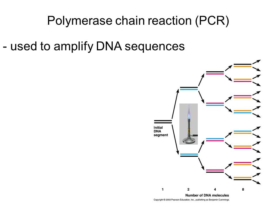 Polymerase chain reaction (PCR) - used to amplify DNA sequences