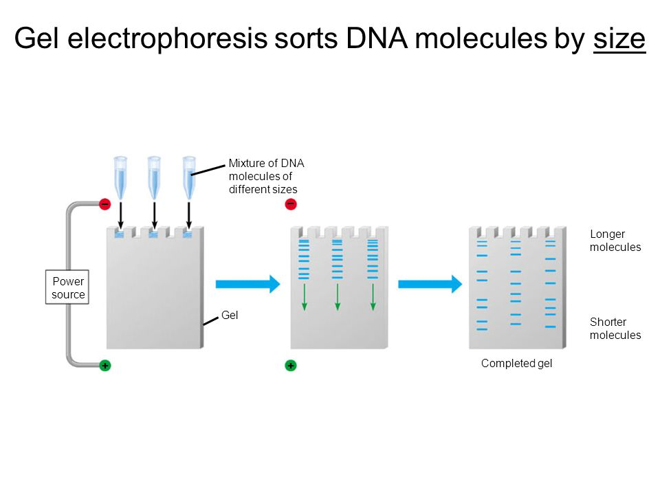 Gel electrophoresis sorts DNA molecules by size ++ – – Power source Gel Mixture of DNA molecules of different sizes Longer molecules Shorter molecules Completed gel