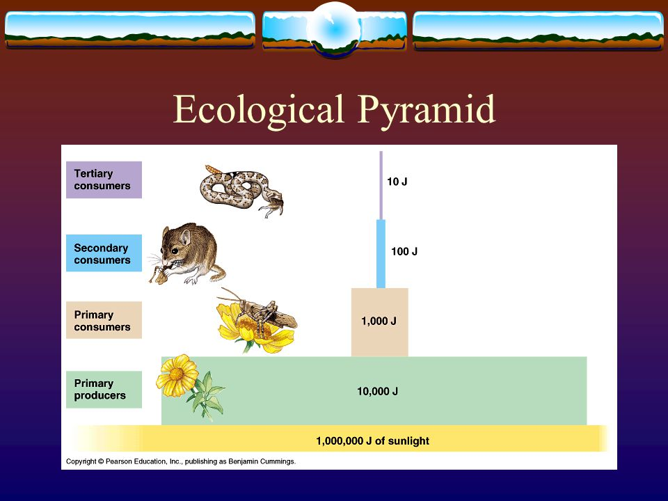 Ecological Pyramid  A diagram that shows the relative amounts of energy or matter contained within each trophic level in a food chain or food web.