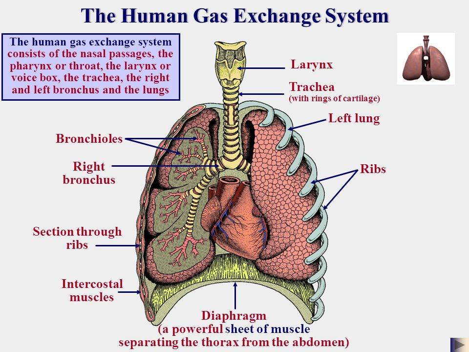The human gas exchange system consists of the nasal passages, the pharynx or throat, the larynx or voice box, the trachea, the right and left bronchus and the lungs Larynx Trachea (with rings of cartilage) Left lung Ribs Diaphragm (a powerful sheet of muscle separating the thorax from the abdomen) Intercostal muscles Section through ribs Right bronchus Bronchioles The Human Gas Exchange System