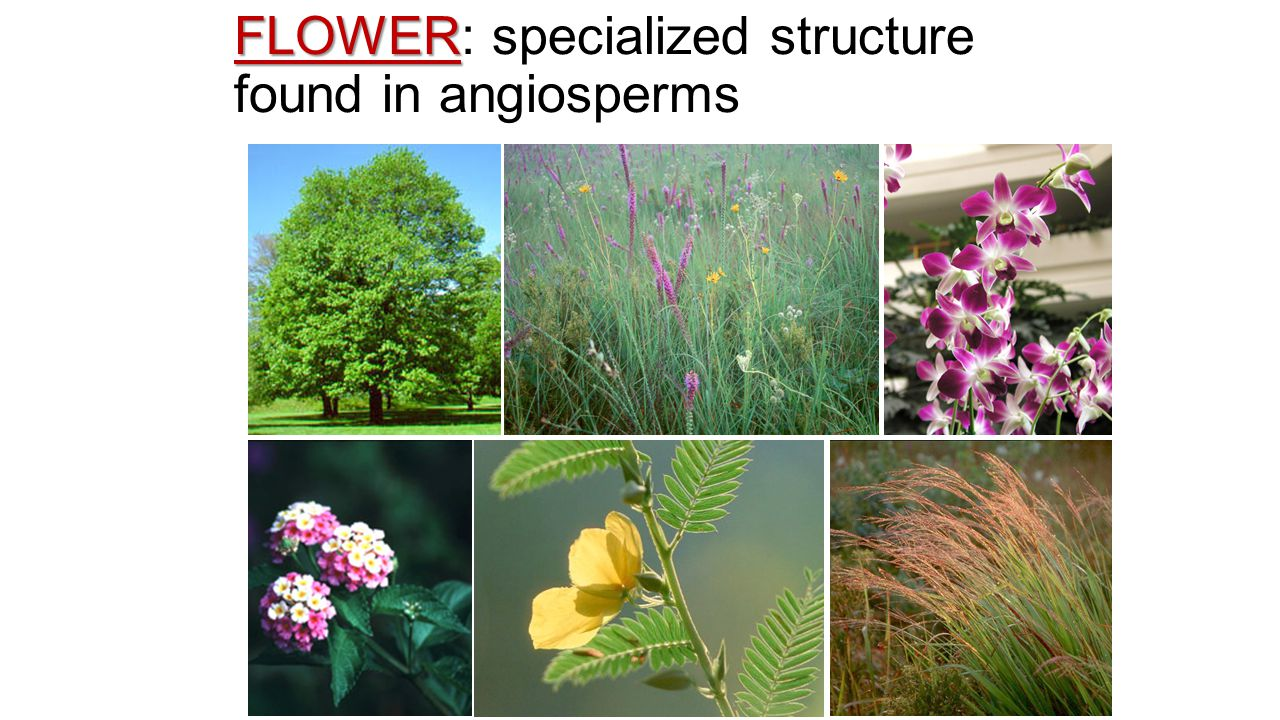 Flowering plants Characteristics internal transport system xylem/phloem, roots flower specialized structure for sexual reproduction pollen sperm that doesn't have to swim seeds within fruit