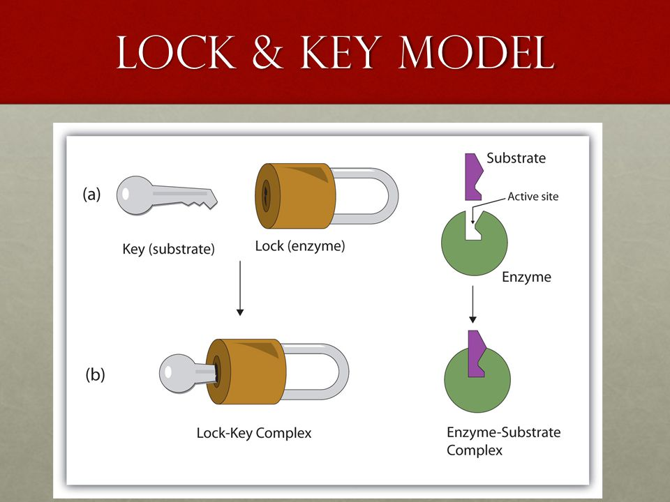 Two Model of Enzymes 1. lock & key model → substrate & the enzyme fit together perfectly 2.