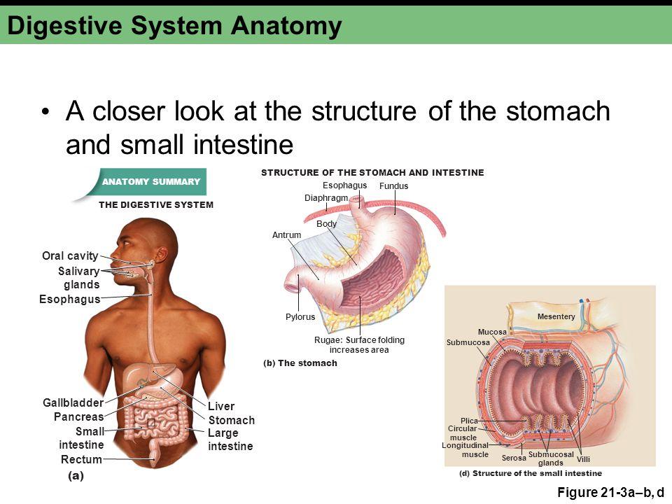 Oral cavity digestive system