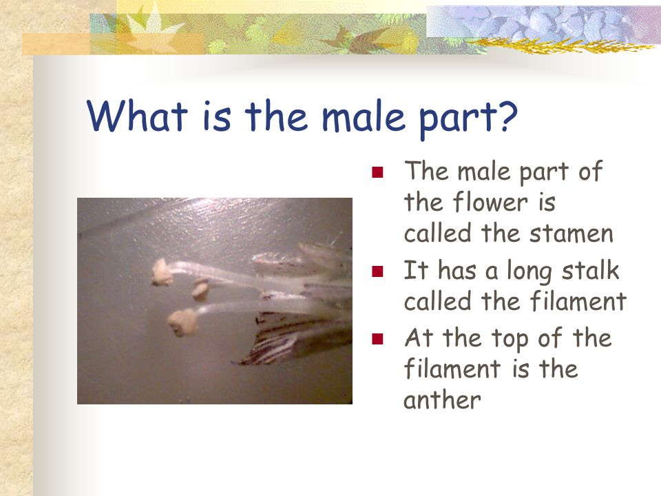 What is the male part.