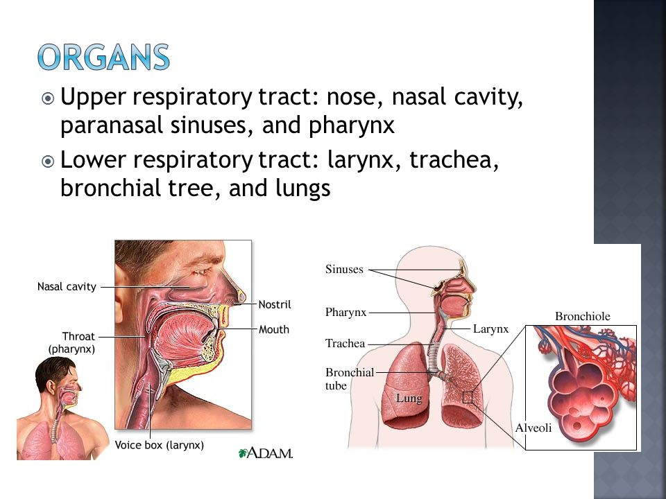  Upper respiratory tract: nose, nasal cavity, paranasal sinuses, and pharynx  Lower respiratory tract: larynx, trachea, bronchial tree, and lungs