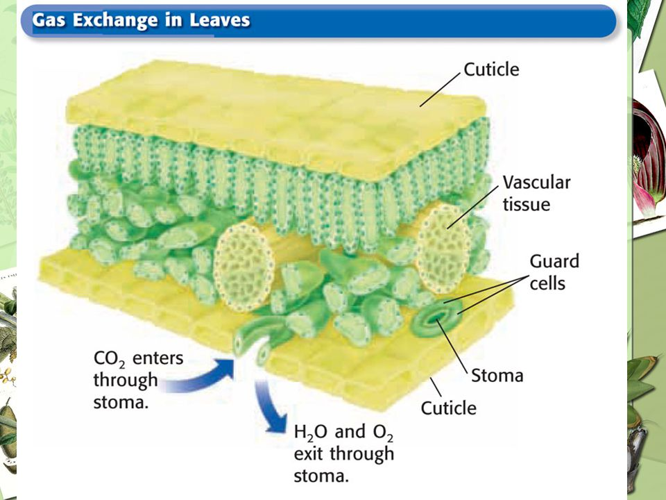Stomata (singular, stoma) are openings in a leaf or stem that enable gas exchange to occur.