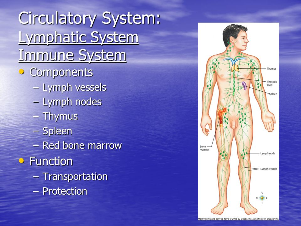 Circulatory System: Lymphatic System Immune System Components Components –Lymph vessels –Lymph nodes –Thymus –Spleen –Red bone marrow Function Function –Transportation –Protection