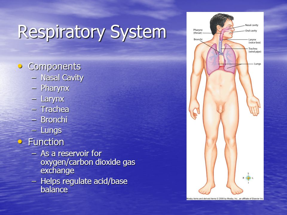 Respiratory System Components Components –Nasal Cavity –Pharynx –Larynx –Trachea –Bronchi –Lungs Function Function –As a reservoir for oxygen/carbon dioxide gas exchange –Helps regulate acid/base balance