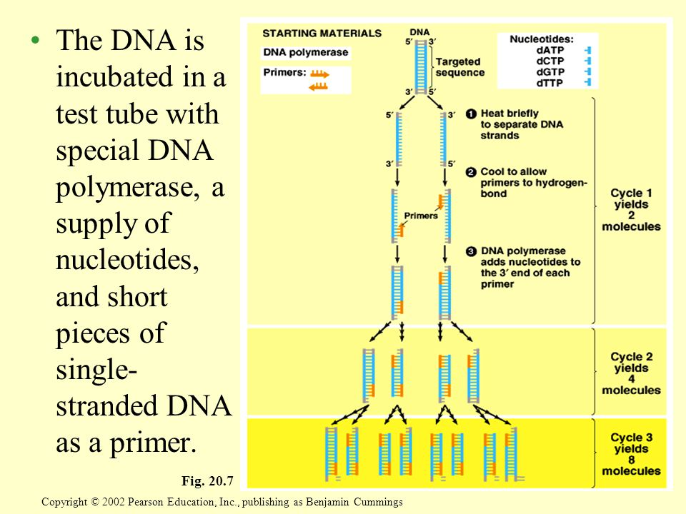 The DNA is incubated in a test tube with special DNA polymerase, a supply of nucleotides, and short pieces of single- stranded DNA as a primer.