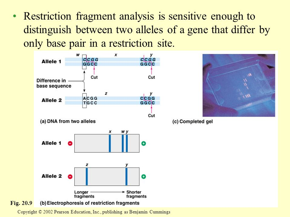 Restriction fragment analysis is sensitive enough to distinguish between two alleles of a gene that differ by only base pair in a restriction site.