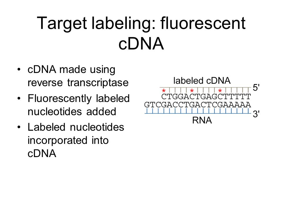 Target labeling: fluorescent cDNA cDNA made using reverse transcriptase Fluorescently labeled nucleotides added Labeled nucleotides incorporated into cDNA