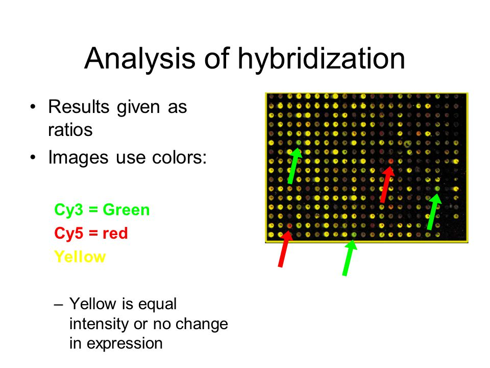 Results given as ratios Images use colors: Cy3 = Green Cy5 = red Yellow –Yellow is equal intensity or no change in expression Analysis of hybridization