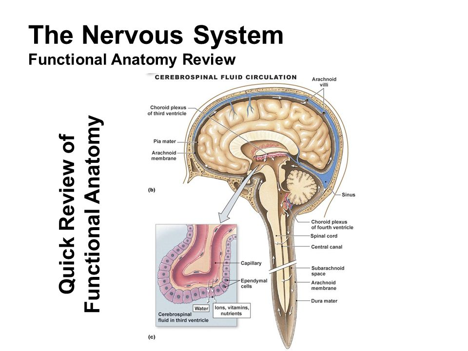 The Nervous System Overview Cns Lecture Outline General Overview