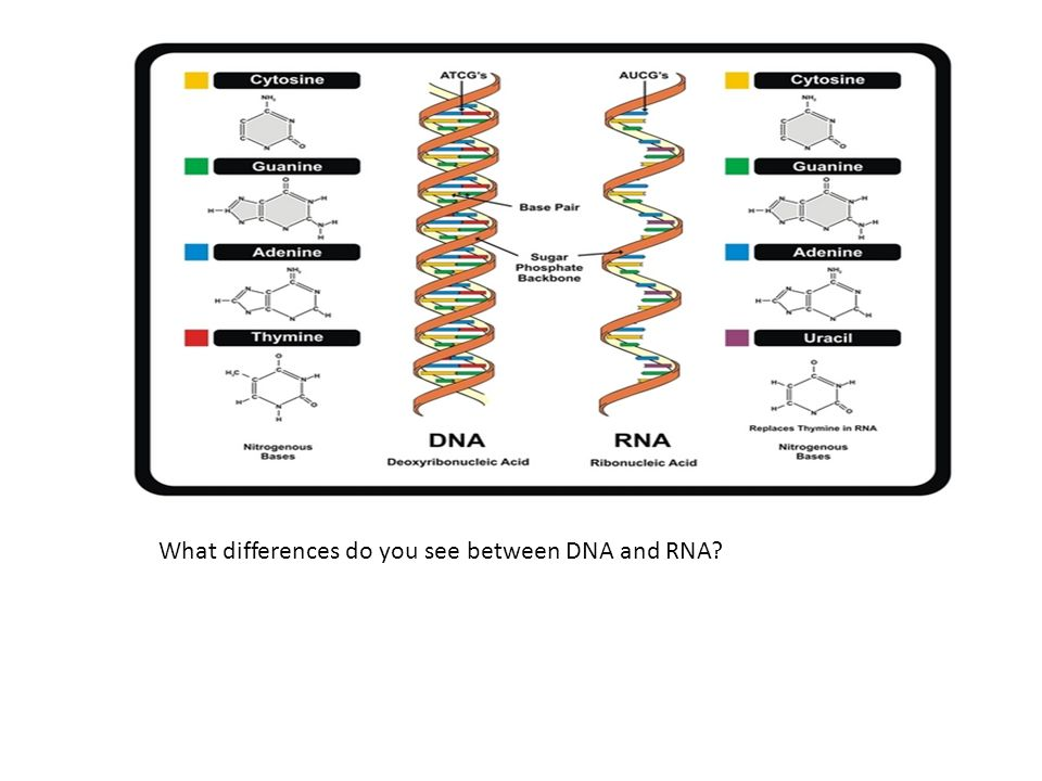 What differences do you see between DNA and RNA
