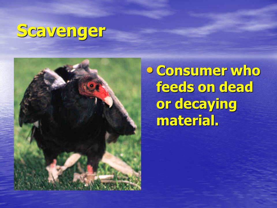 Scavenger Consumer who feeds on dead or decaying material.