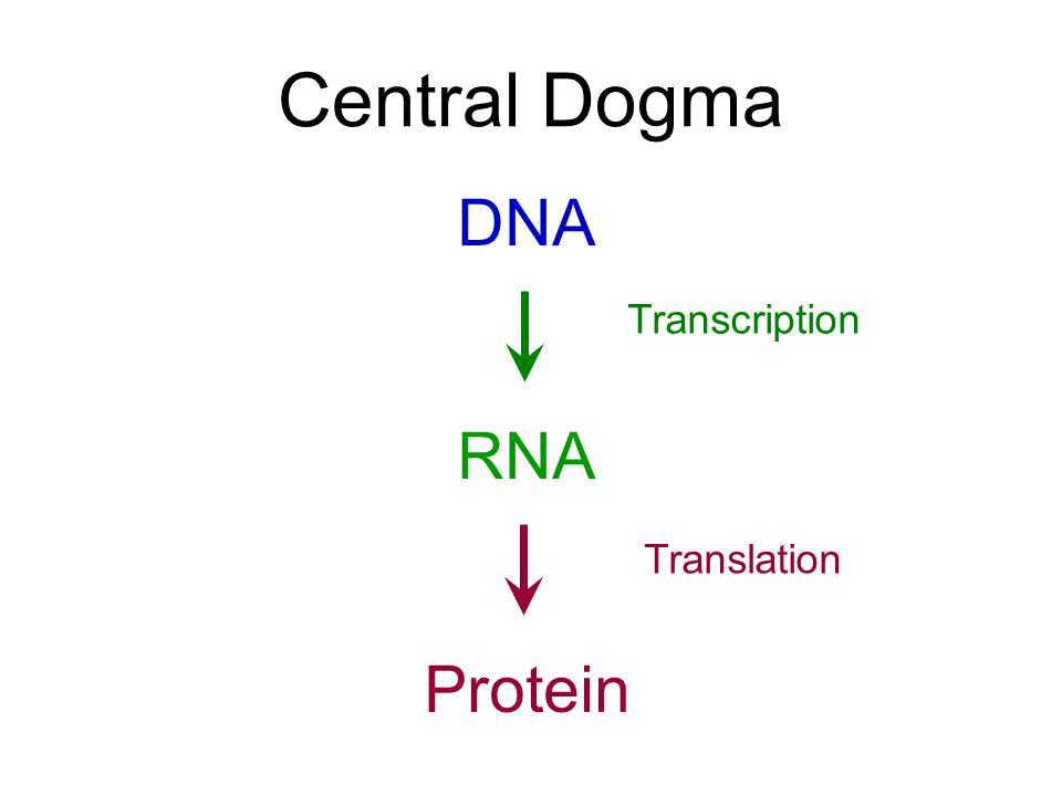 Transcription and Translation Chapter Ten Central Dogma DNA RNA – Transcription Translation Worksheet