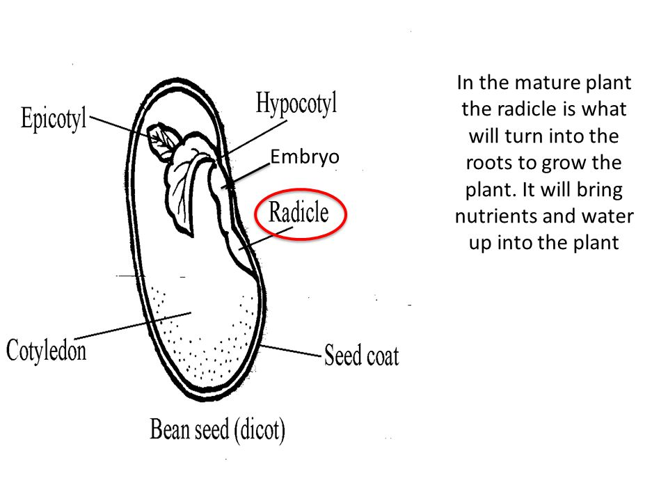 Embryo In the mature plant the radicle is what will turn into the roots to grow the plant.