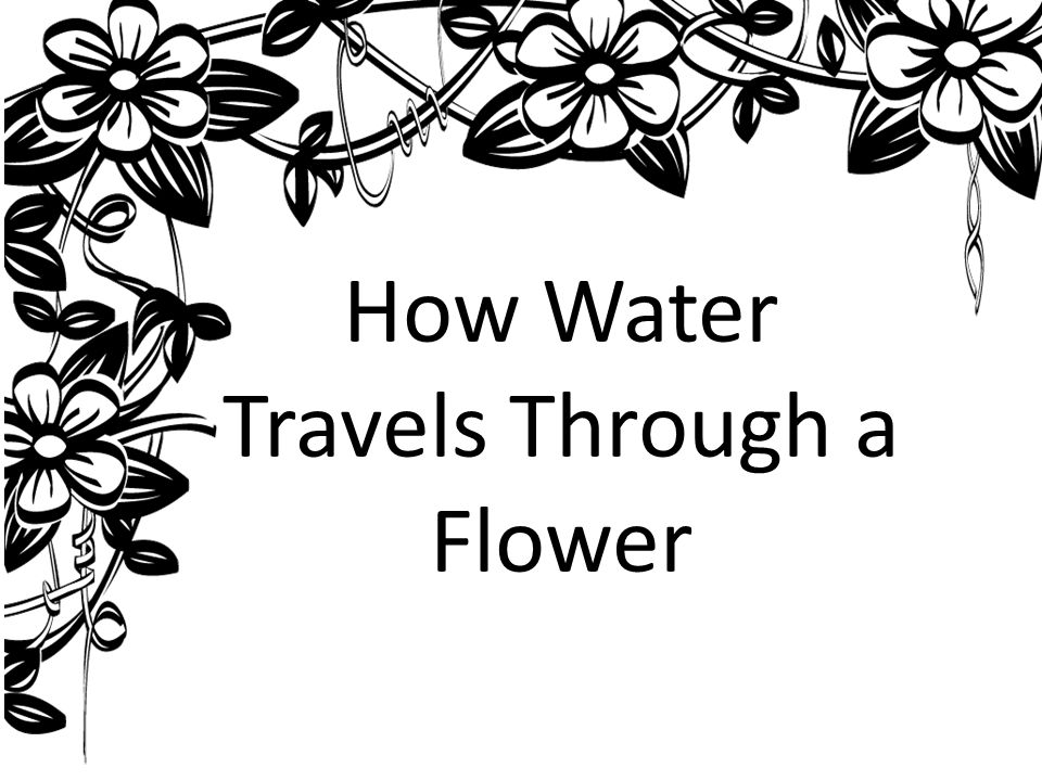 How Water Travels Through a Flower