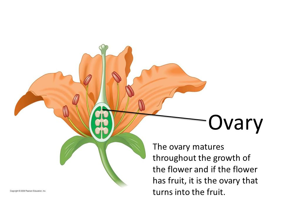 Ovary The ovary matures throughout the growth of the flower and if the flower has fruit, it is the ovary that turns into the fruit.