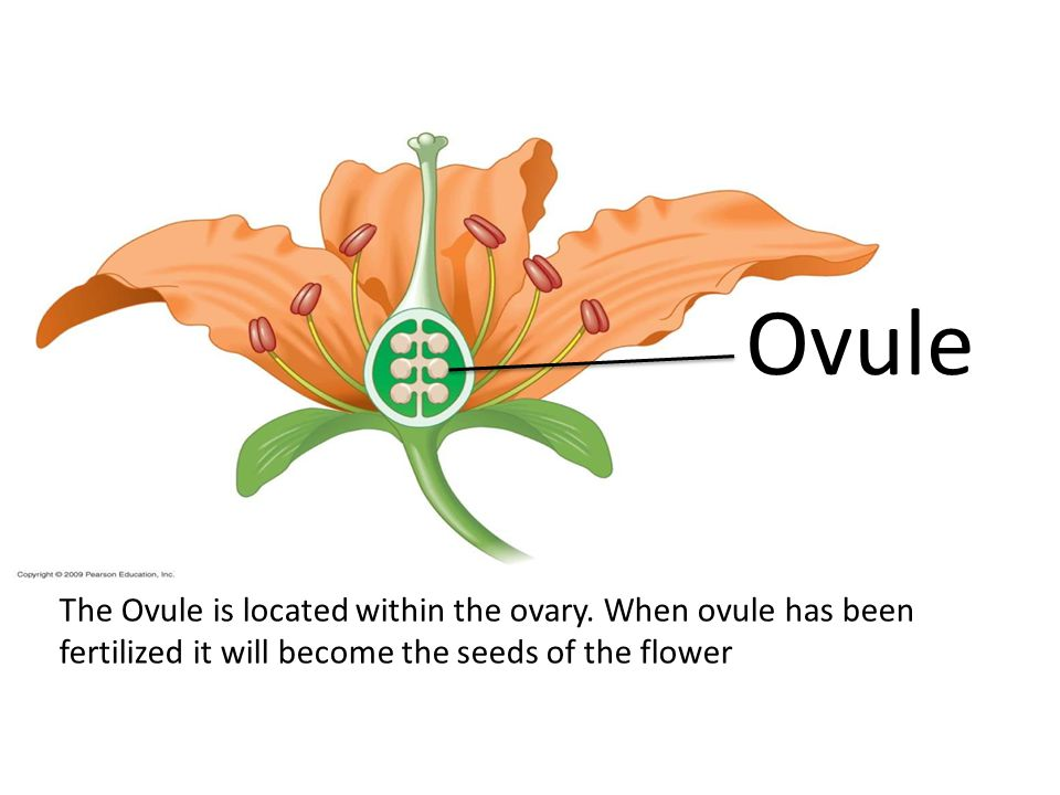 Ovule The Ovule is located within the ovary.