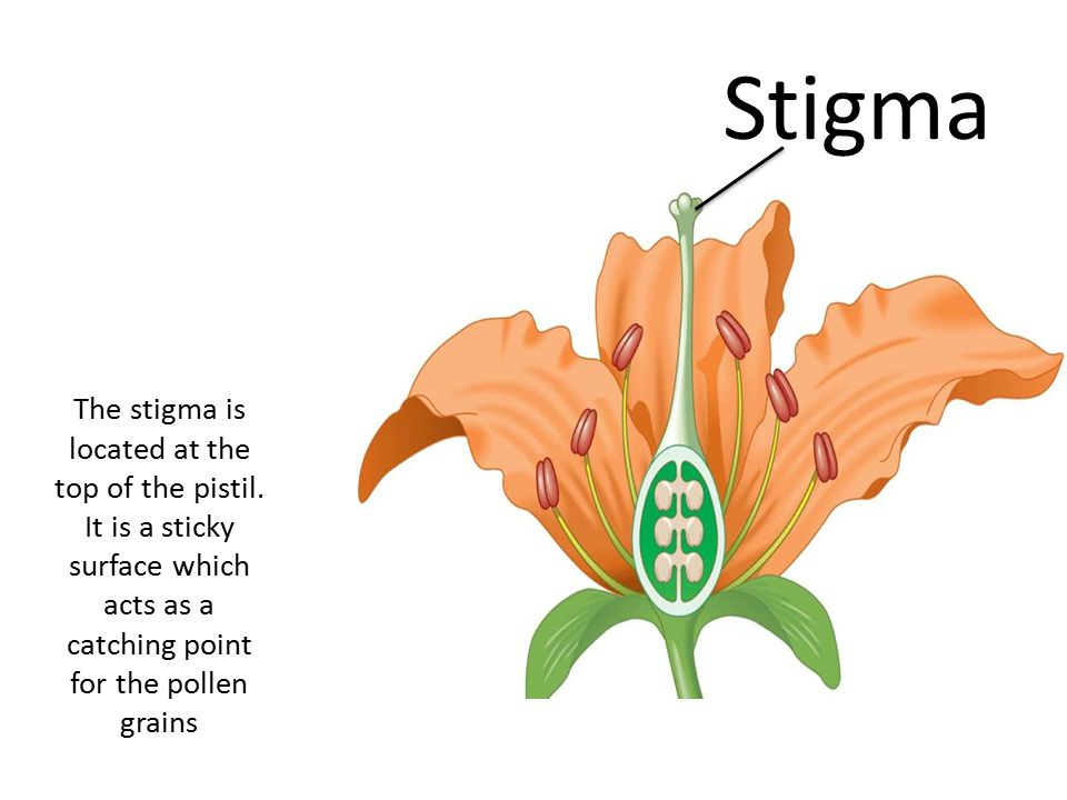 The stigma is located at the top of the pistil.