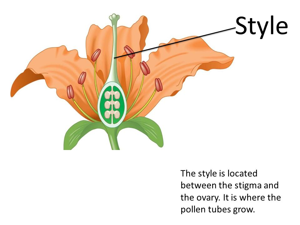Style The style is located between the stigma and the ovary. It is where the pollen tubes grow.