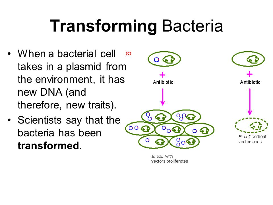 Transforming Bacteria When a bacterial cell takes in a plasmid from the environment, it has new DNA (and therefore, new traits).